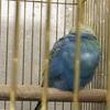 まんまるアオちゃん娘に鳥籠を譲る。