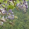 洞尾広場の<藤の花>