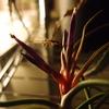 ブルボーサ開花