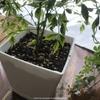 観葉植物の植え替えをしてみた