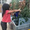 【朗報】家庭菜園では手がかかるけど トマトの水耕栽培はとってもイージー 2019