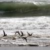 再掲::波打ち際を飛翔するミユビシギ
