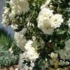 スワニーの白木香薔薇
