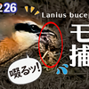 1226【小さな猛禽モズがミミズを捕食】梅の花にスズメ、オナガ水飲み、カワウ婚姻色、タヒバリ、猫の水死体閲覧注意。ピラカンサほぼ食べられる【 #今日撮り野鳥動画まとめ 】 #身近な生き物語