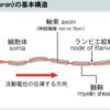 繊維自発電位(fibrillation potential)と陽性鋭波(positive sharp wave)について