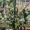 家庭菜園レポート