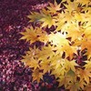 嵐山の紅葉と槐の豆皿膳