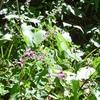 シコクママコナとソバナとシギンカラマツ 白岩岩峰の植物