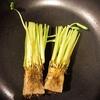 リボベジ(再生野菜)に挑戦~三つ葉編