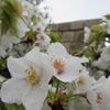 雨天決行のお花見in江戸城