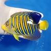 【現物3】インドニシキヤッコ 13cm±! 海水魚 ヤッコ 15時までのご注文で当日発送【ヤッコ】