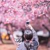 見頃になった三菱ケミカルの河津桜