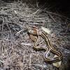 やんばるの輪紋紅蛇