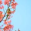 陽光桜とインコ