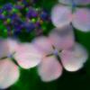 花の雫 雨あがる日の白紫陽花