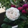 我が家の白いバラたち
