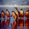 【フィリップ島旅行】世界一小さいぺンギンが間近でみれる!大人気のペンギンパレードを10倍楽しむ方法