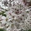 桜 × 雪 !!!
