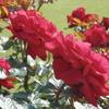 横須賀軍港近くでバラを鑑賞 ヴェルニー公園