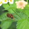 セグロアシナガバチの獲物
