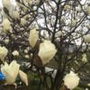 ハクモクレンがもう咲いている