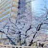 いたばしの桜を見に行きました2021、その1。