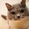 ブリティッシュショートヘアの子猫を飼いはじめて1年経った