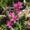 #4 シバザクラ 花が咲き続ける