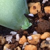 今朝の多肉。コロラータ、チワワエンシスの葉挿し、ラウリンゼの綴化(てっか)など。
