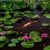 京都・山科 - 水辺で感じる初夏の便り 山科 勧修寺