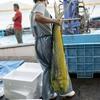 2018年8月18日 小浜漁港 お魚情報