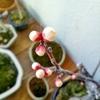 春立ちぬ。盆栽の梅は丸々と