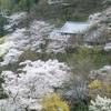 長谷寺の桜(3月下旬~4月上旬)