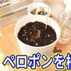 【栽培】机上で育てることができる植物〜ペロポンPeroponを植え替えた