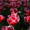 GR/GXRスナップ: 花、スポットライト