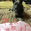 ネェネ発奮、甲斐犬サンのお散歩8分❓〜ソンナノ嫌ョォ( ᵒ̴̶̷᷄ д ᵒ̴̶̷᷅ )。
