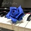 ロイヤルブルーのハイブリッドティーローズ/Hybrid tea rose in ROYAL BLUE