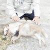 狩猟免許50年で「初めて」、白いタヌキ捕獲