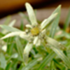 ネパ-ルの樹木と花 第25回目 ネパ-ルのエ-デルワイス・薄雪草 その3