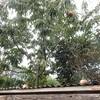 栗拾い 今年は豊作 Picking chestnuts