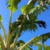 【島バナナを栽培】〜ただいま成長中!!バナナってどやって育つん?〜