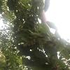 梅の実をむしとり網で収穫した話
