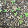 こぼれ種っ子、地下茎で増える子