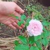 今年5月中頃に買った挿し木のバラが、咲いた!!