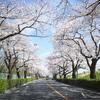 名所に行かなくても桜はたくさん咲いているわけで