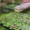 福岡市動植物園の睡蓮