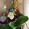 胡蝶蘭が咲きました(2)
