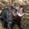 ブリスベンで絶滅危惧種のタスマニアン・デビル見れます!