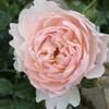 バラを地植えするか、鉢栽培にするか?