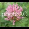 写真AC/植物雑記:No.006 ムラサキツメクサ